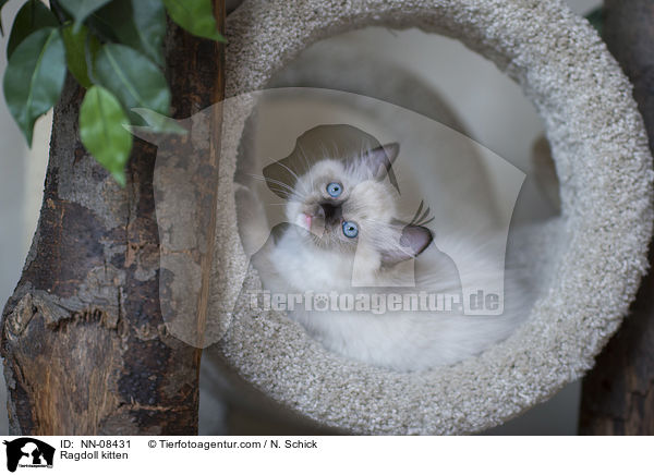 Ragdoll Ku00e4tzchen / Ragdoll kitten, NN-08431, cat, cats, images, photos, pictures, photography, agency, archive